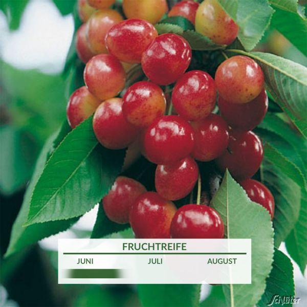 Zwergkirsche 'Große Prinzessinkirsche' Prunus 'Große Prinzesskirsche' Bild