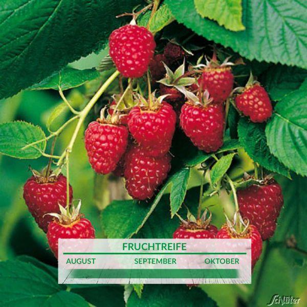 "Himbeere 'Himbo-Star®' Rubus idaeus ""Himbo-Star®"" Bild"