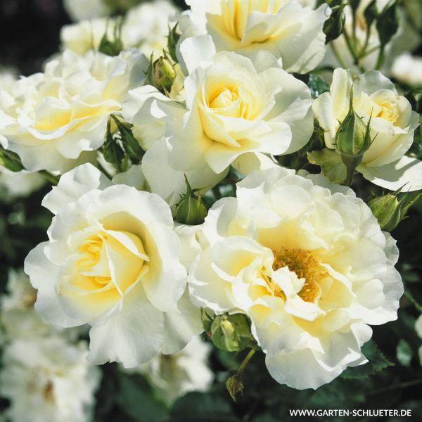 Beetrose 'White Meilove syn. Inner Wheel' Rosa 'Inner Wheel®' Bild