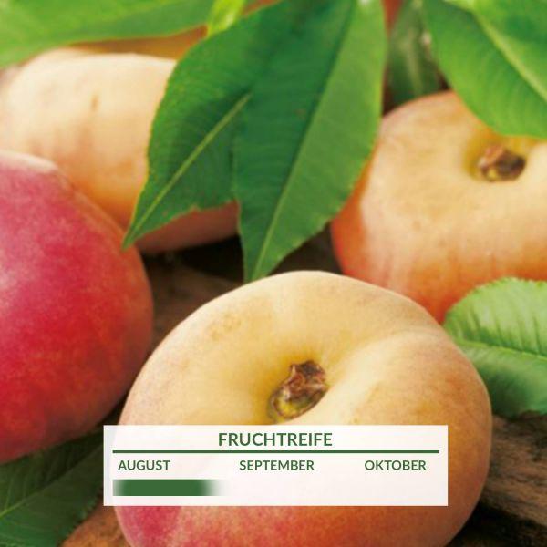 Tellerpfirsich 'Sugar Baby' Prunus persica 'Sugar Baby' Bild