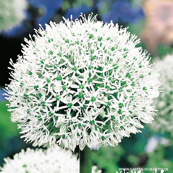 Allium 'Mount Everest' - 1 Stück Allium 'Mount Everest' Bild