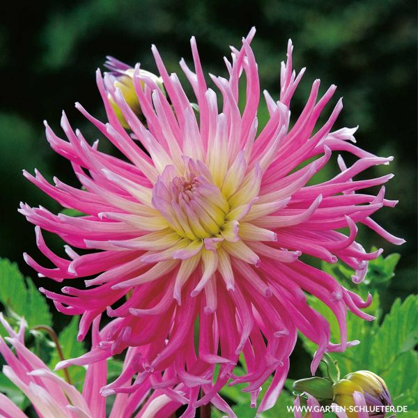 Kaktusdahlie Star's Favourite Dahlia Bild