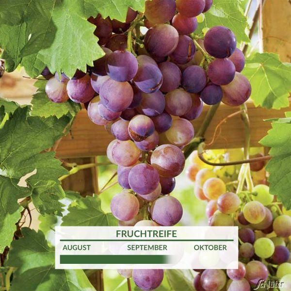 Weintraube 'Rhea®' Vitis vinifera Bild