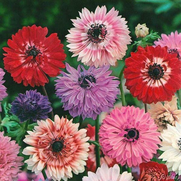 Garten-Anemone 'St. Brigid' - Mischung - 15 Stück Anemone coronaria St. Bridget Mischung Bild