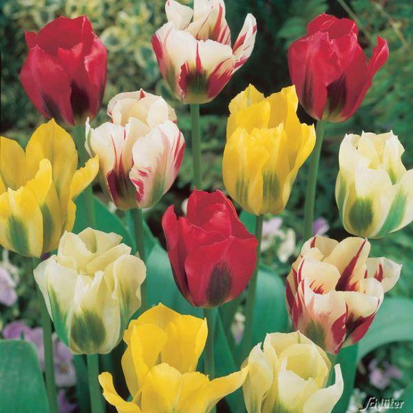 Viridiflora Tulpen Mix Tulipa Viridiflora Bild
