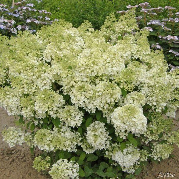 Zwerg-Rispenhortensie 'Bobo®' Hydrangea paniculata 'Bobo' Bild