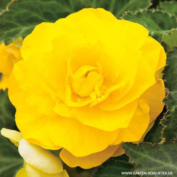 Begonie 'Grandiflora Gelb' - 3 Stück Begonia Grandiflora Bild