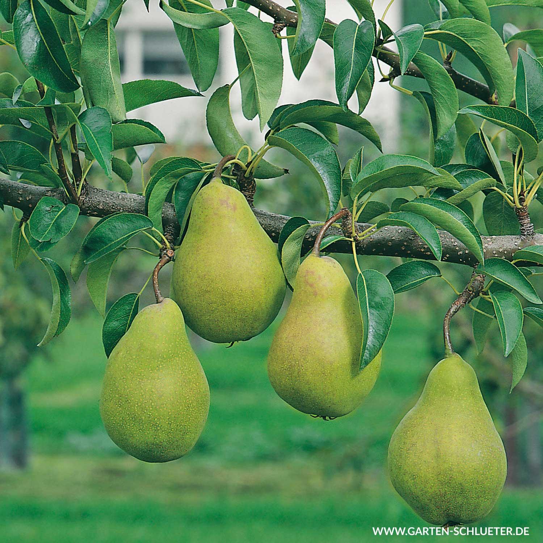 Köstliche Birne aus dem eigenen Garten