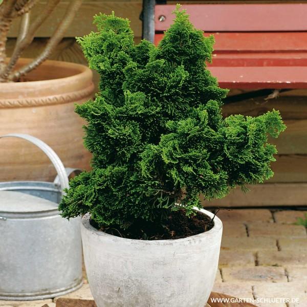 Koniferen-pflanzen-im-Garten-oder-Kuebel