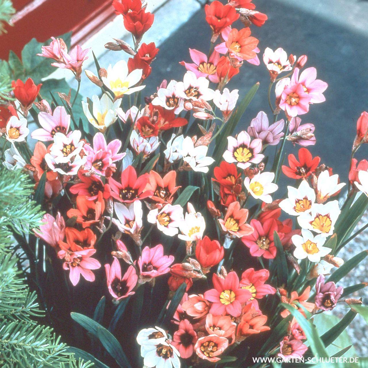 Zigeunerblumen 'Mischung' - 25 Stück