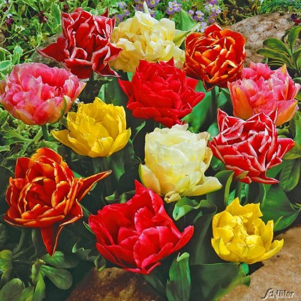 Gefüllte frühe Tulpe 'Mischung' - 10 Stück Tulipa 'Mischung' Bild