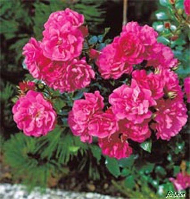 Garten-Schlueter.de: Stammrose Gärtnerfreude - ADR - Rose - 60 cm Stamm