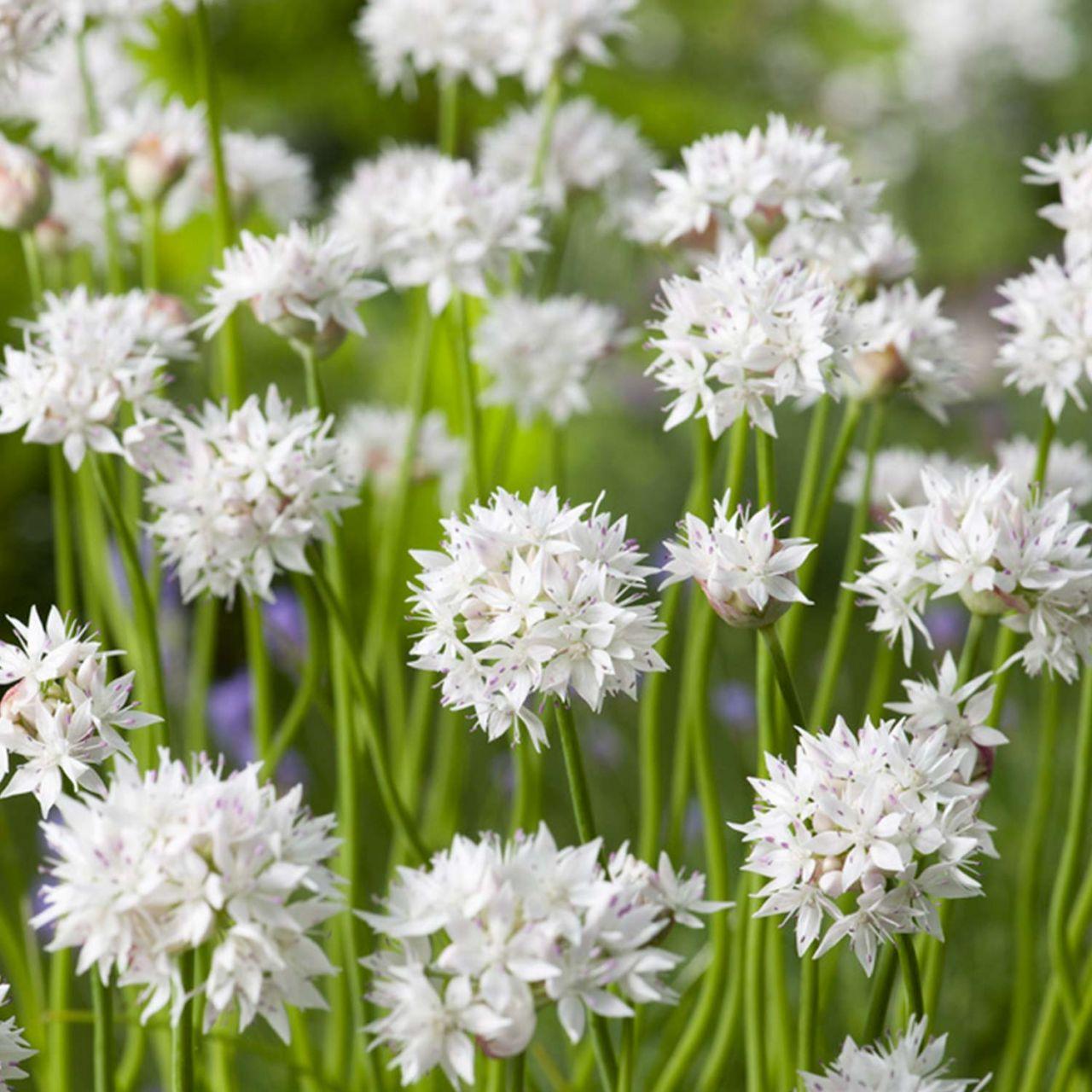 Allium 'Graceful Beauty' - 5 Stück