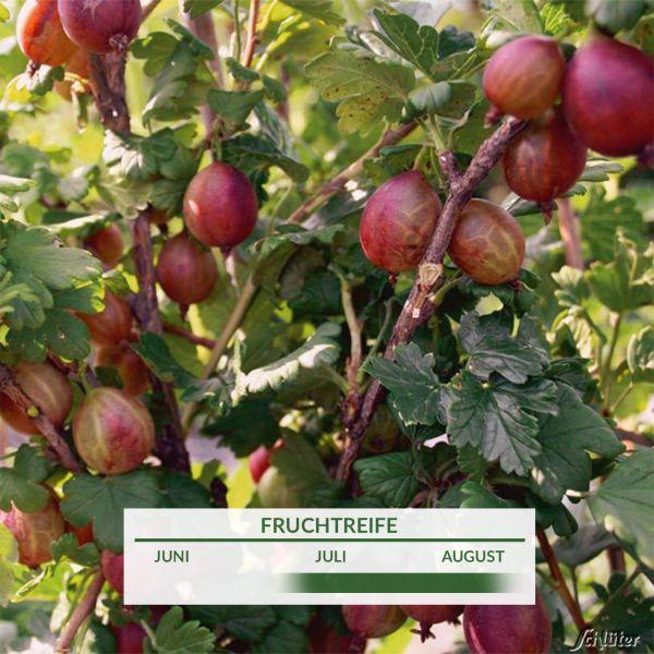 Stachelbeere 'Captivator' Ribes uva-crispa 'Captivator' Bild