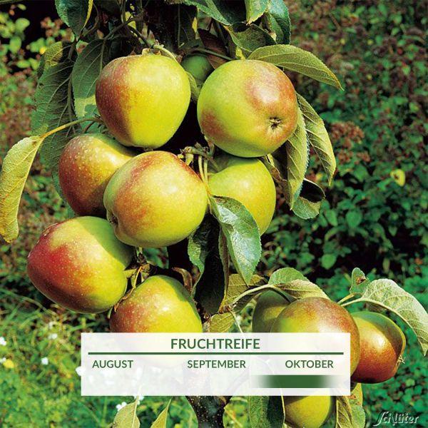 Obst-Zwerg® Apfel 'Starking' Malus 'Starking' Bild