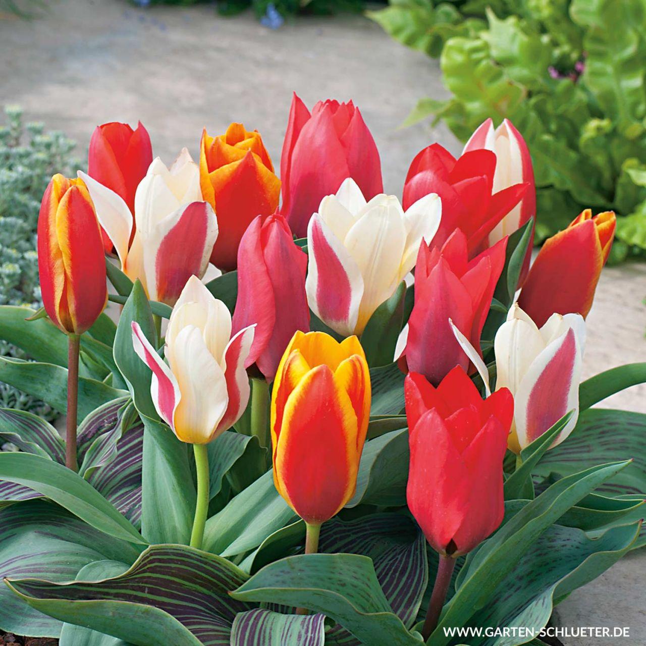 Garten-Schlueter.de: Botanische Tulpe Top - Mischung - 10 Stück