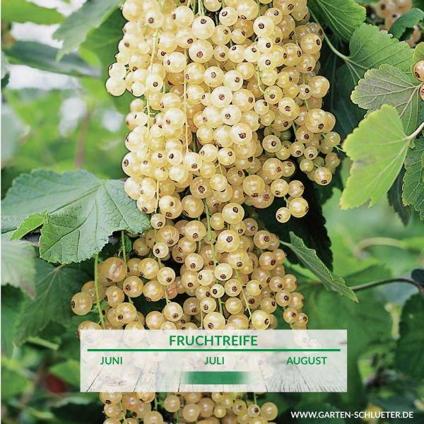 Weiße Johannisbeere 'Blanka' - Busch Ribes sativa 'Blanka' Bild