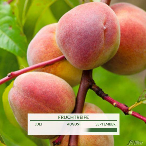Pfirsich 'Roter Ellerstädter' Prunus persica Bild