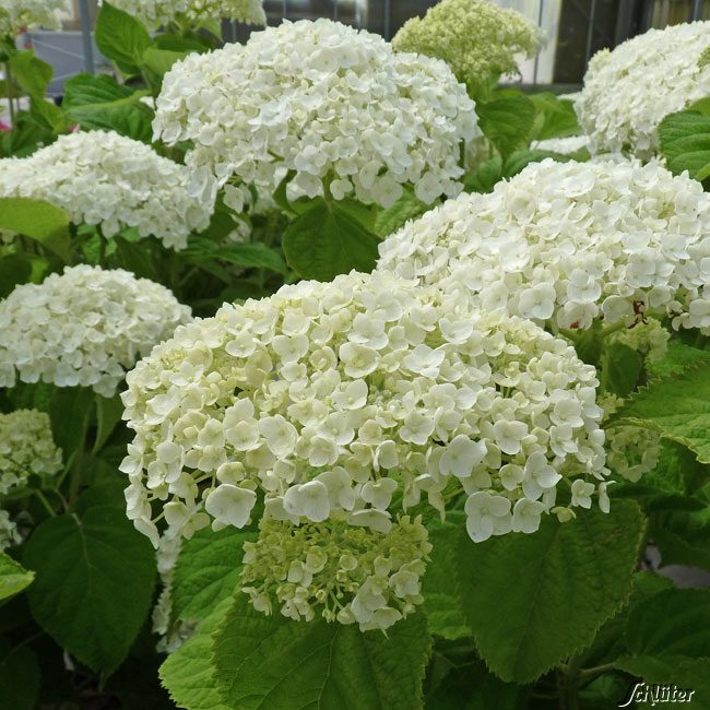 hortensie 39 strong annabelle 39 incrediball hydrangea. Black Bedroom Furniture Sets. Home Design Ideas