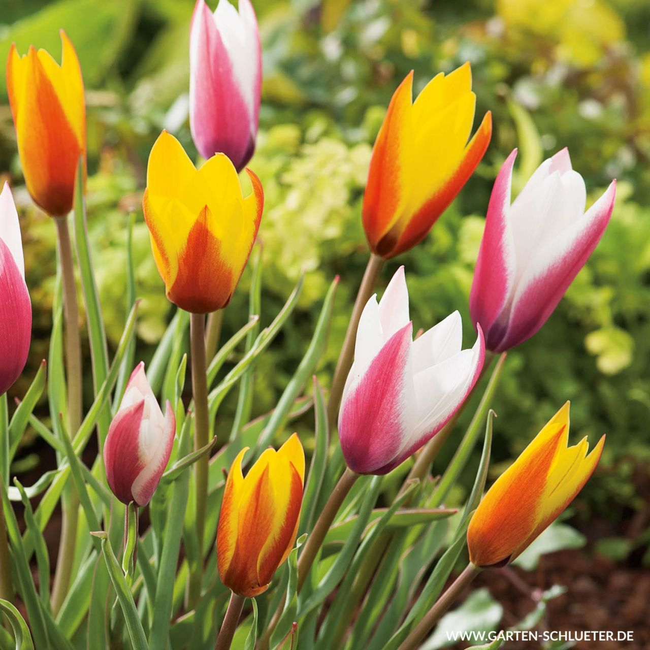 Wildtulpen-Mischung 'Belles Tulipes' - 25 Sück