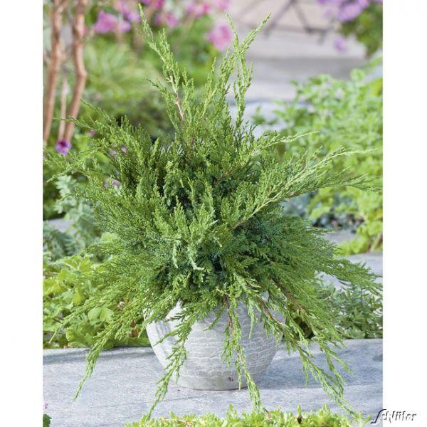 Strauchwacholder 'Mint Julep' Juniperus media 'Mint Julep' Bild