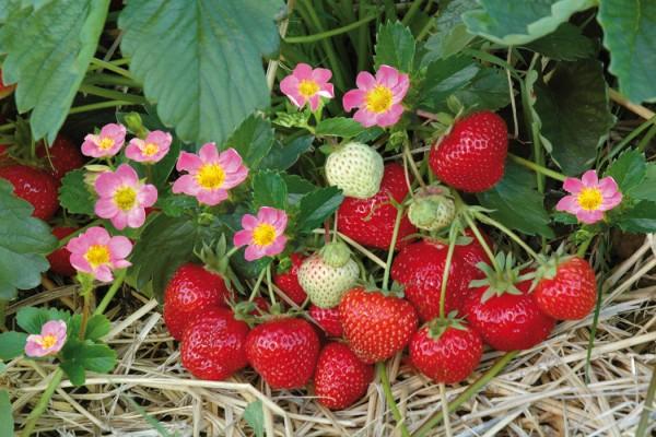 Erdbeer_Pflanzzet