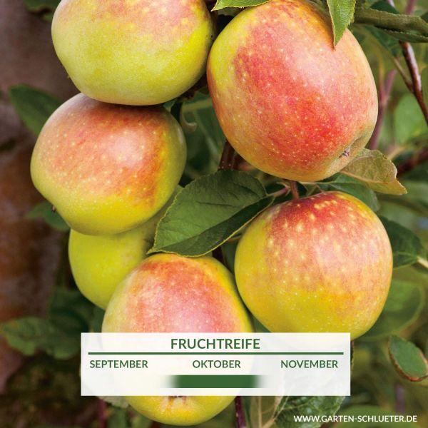 Apfel 'Rheinischer Bohnapfel' Malus domestica 'Rheinischer Bohnapfel' Bild