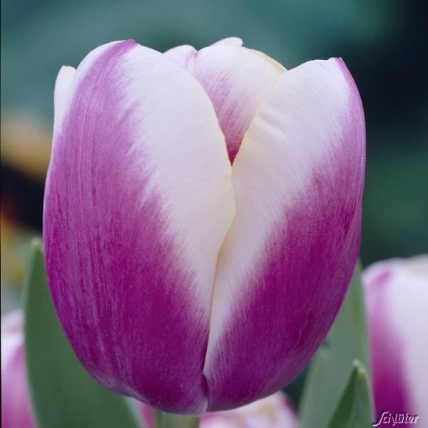 Einfache späte Tulpe 'Atlantis' - 7 Stück Tulipa Bild