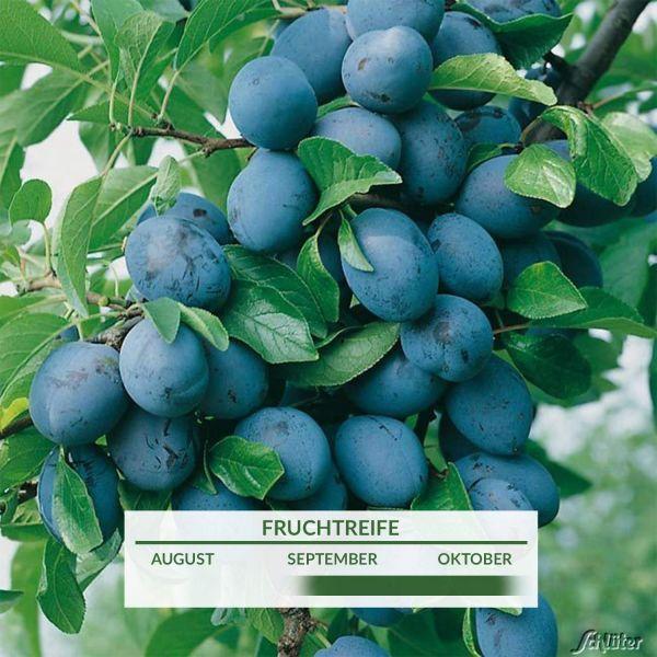 Hauszwetsche - Der Klassiker - Busch Prunus domestica 'Hauszwetsche' Bild
