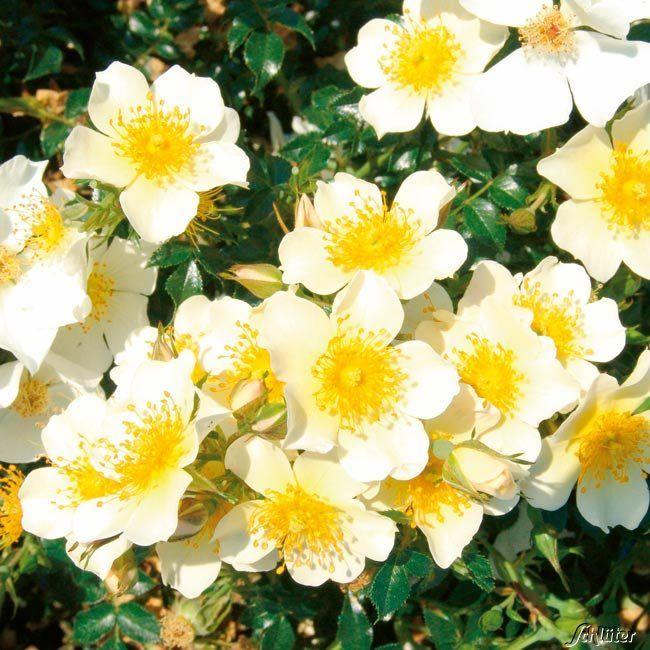 Garten-Schlueter.de: Zwergrose Sonnenröschen - ADR - Rose