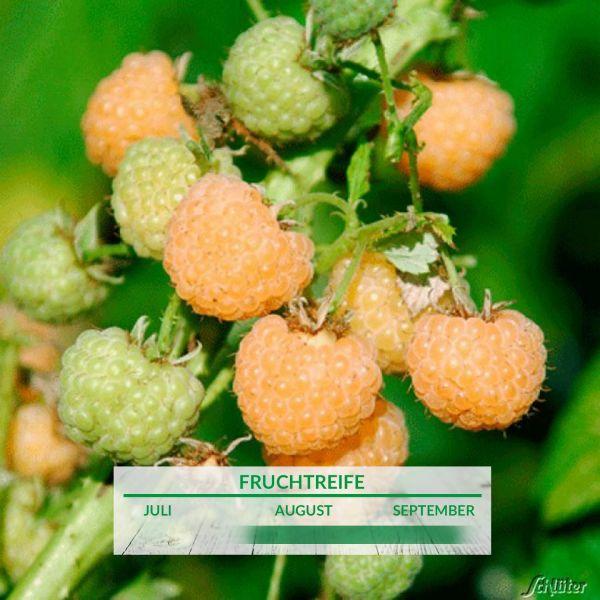 Himbeere 'Golden Bliss®' - die Gelbe Rubus idaeus 'Golden Bliss®' Bild