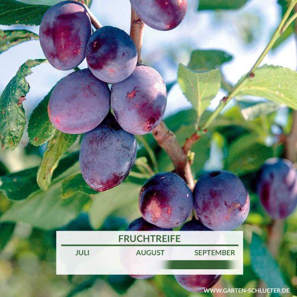 Mini Stämmchen Pflaume 'Jojo' Prunus dom. 'Jojo' Bild