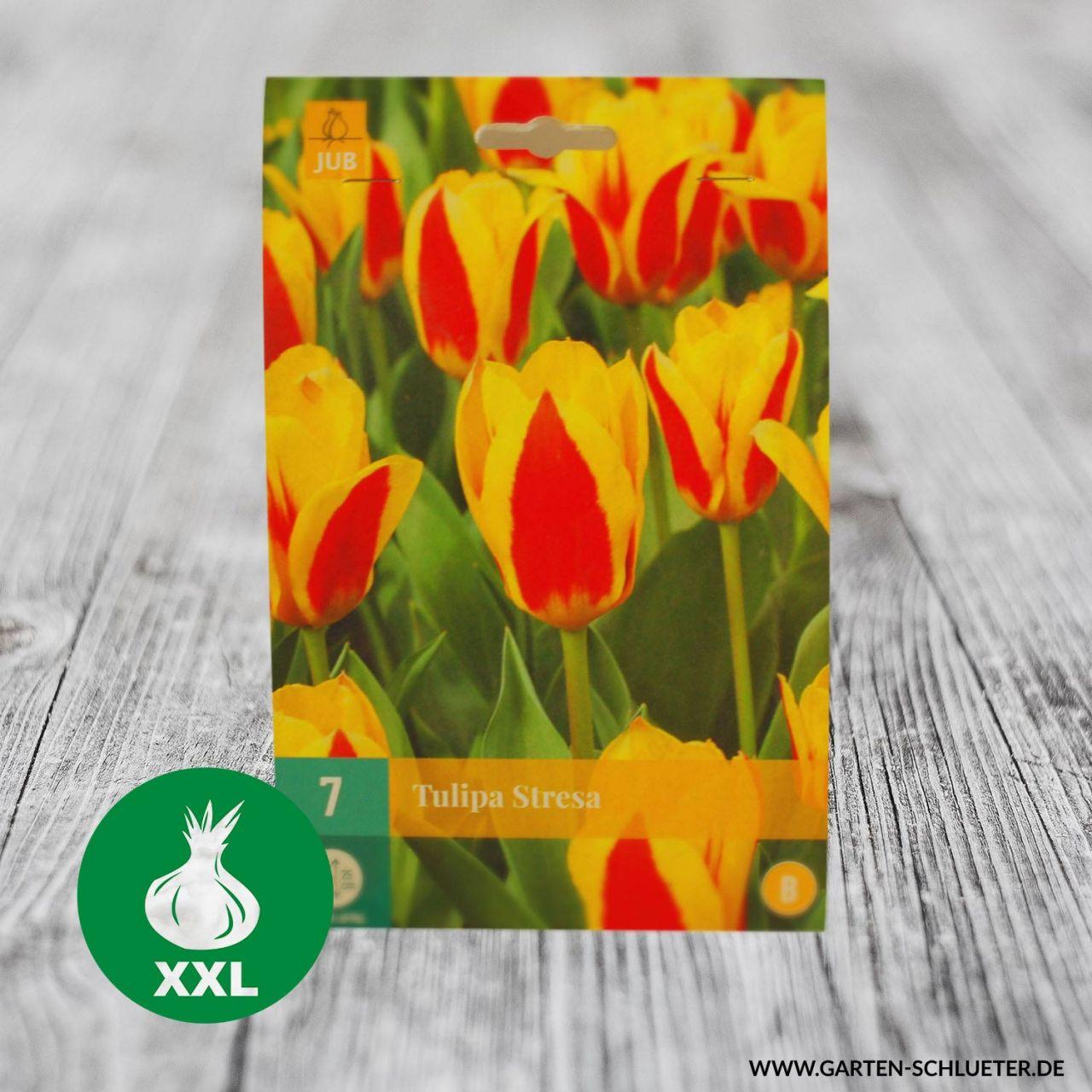 Garten-Schlueter.de: Kaufmanniana Tulpe Stresa 7 Stück