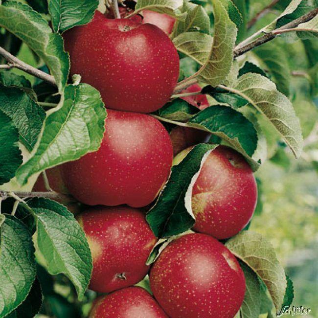 Zwerg-Apfel 'Roter Berlepsch'