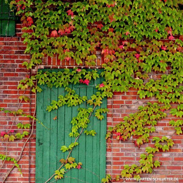 Wilder Wein 'Green Spring' - Jungfernrebe Parthenocissus tricuspidata 'Green Spring' Bild