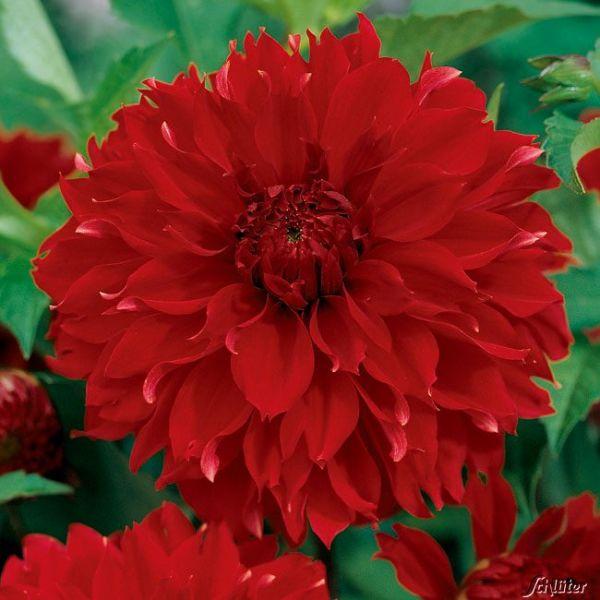 Dahlie 'Red Fubuki' - 1 Stück Dahlia 'Red Fubuki' Bild