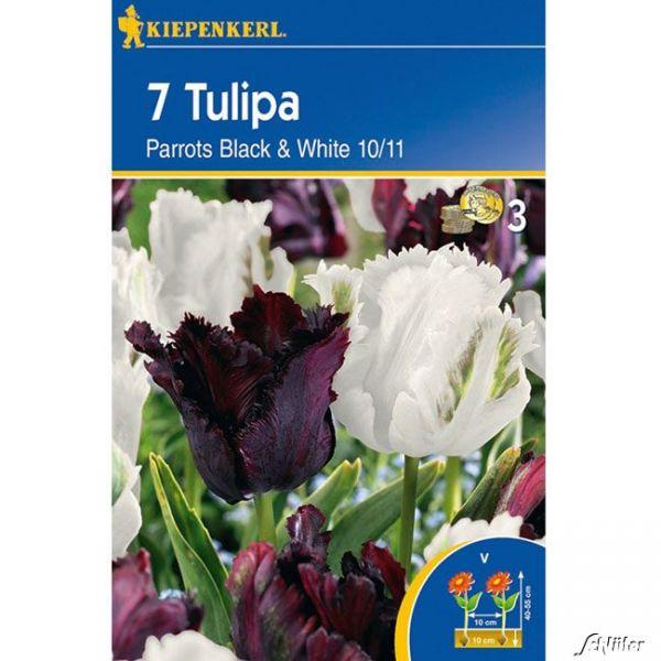 Gefranste Tulpe 'Parrots Black & White' - 7 Stück Tulipa Mix Bild