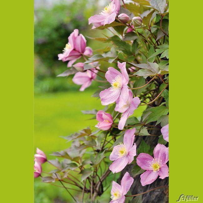 Clematis 'Tetra Rose'
