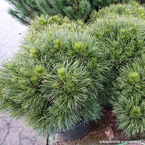 Zwerg-Kiefer 'Varella' Pinus mugo 'Varella' Bild
