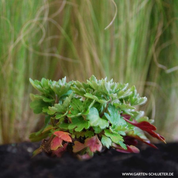 Winteraster rot Chrysanthemum x hortorum rot Bild