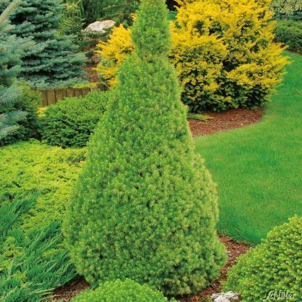 Zuckerhutfichte Picea glauca 'Conica' Bild