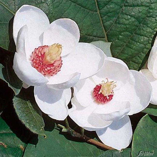 Garten-Schlueter.de: Sommer - Magnolie