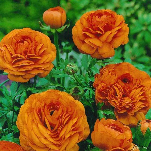 Ranunkeln 'Orange' - 10 Stück Ranunculus 'Orange' Bild