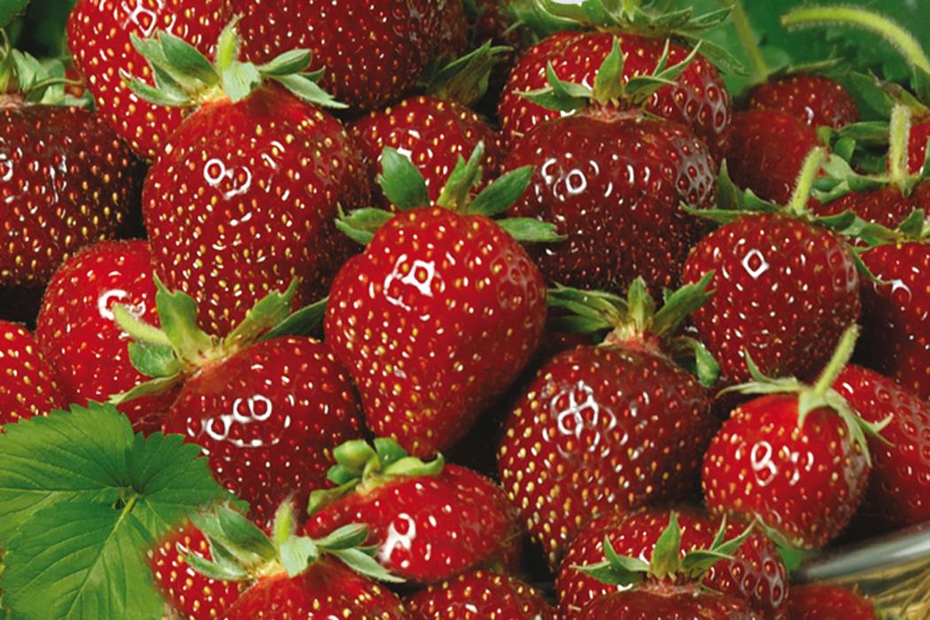 Gemeinsame Erdbeeren schützen | Erdbeeren | Ratgeber | Garten Schlüter @AQ_03
