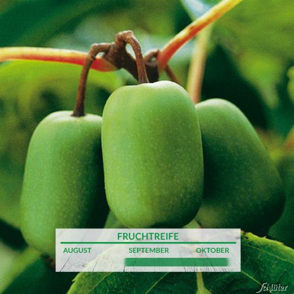 Stachelbeer-Kiwi 'Issai' Actinidia arguta 'Issai' Bild