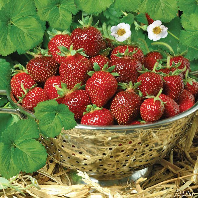 Erdbeere 'HUMMI®-Praline'