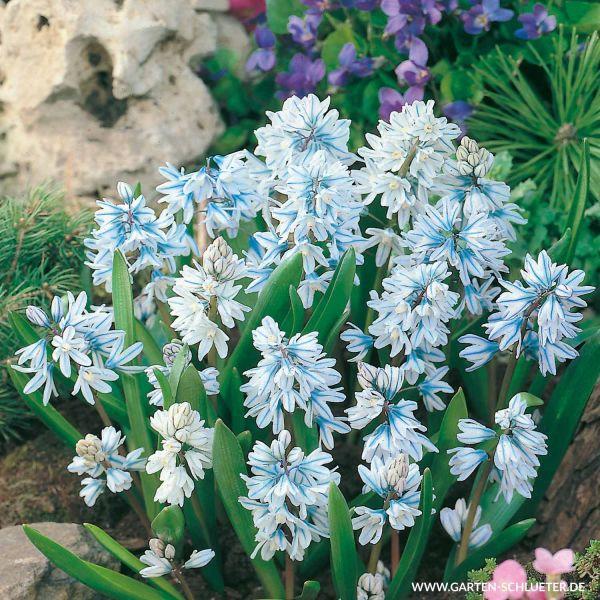 Porzellanblümchen - 25 Stück Puschkinia libanotica Bild