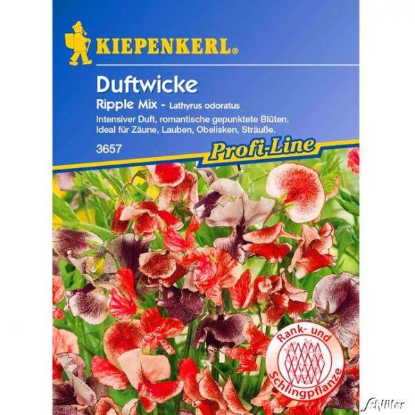 Duftwicken 'Ripple Mix' Lathyrus odoratus Lathyrus odoratus Bild