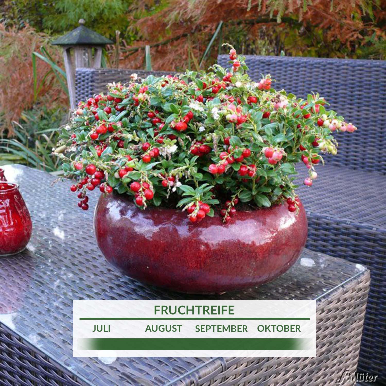 cranberry pflanze kaufen cranberry im garten cranberries pflanzen und ernten bei cranberry. Black Bedroom Furniture Sets. Home Design Ideas