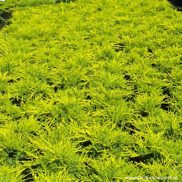 Goldwacholder 'Old Gold' Juniperus media 'Old Gold' Bild